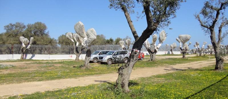 Il gasdotto TAP e l'espianto di ulivi