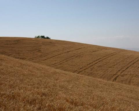 Paesaggi di grano